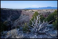 Tree skeleton, Taos Valley Overlook. Rio Grande Del Norte National Monument, New Mexico, USA ( )