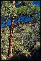 Ponderosa Pine, Big Arsenic. Rio Grande Del Norte National Monument, New Mexico, USA ( )