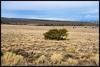 Sagebrush and isolated juniper, Pinabetal Mesa. Rio Grande Del Norte National Monument, New Mexico, USA ( color)