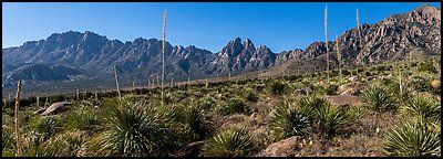 Sotol with flowering stem, Needles, Rabbit Ears. Organ Mountains Desert Peaks National Monument, New Mexico, USA (Panoramic color)