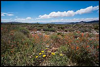 Flats with wild poppies. Gold Butte National Monument, Nevada, USA ( )