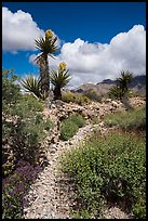 Desert wash with Yuccas in bloom. Gold Butte National Monument, Nevada, USA ( )