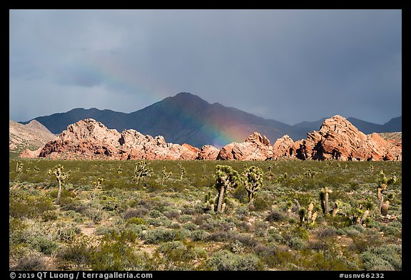 Joshua Trees, Whitney Pocket with rainbow. Gold Butte National Monument, Nevada, USA (color)