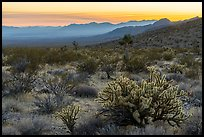 Desert sunset with cholla cactus. Gold Butte National Monument, Nevada, USA ( )