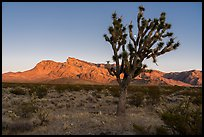 Joshua tree, Virgim Mountains, and moon at sunset. Gold Butte National Monument, Nevada, USA ( )