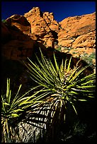 Yucca and red rocks. Red Rock Canyon, Nevada, USA