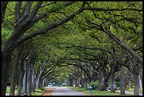 Tree tunnel, North Boulevard. Houston, Texas, USA ( color)