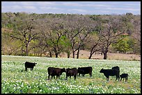 Cattle in meadow with flowers. Texas, USA ( color)