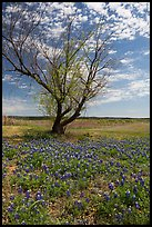 Bluebonnets and lone tree, Tow. Texas, USA ( color)