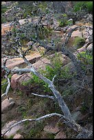 Branches and rocks, Enchanted Rock state park. Texas, USA ( color)