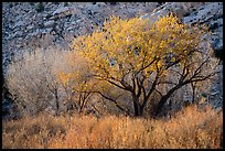 Cottonwood trees and cliff in autumn. Grand Staircase Escalante National Monument, Utah, USA ( color)
