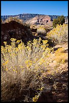 Rabbitbrush and Straight Cliffs, early morning. Grand Staircase Escalante National Monument, Utah, USA ( color)