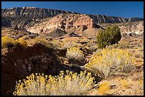 Rabbitbrush in bloom and Straight Cliffs. Grand Staircase Escalante National Monument, Utah, USA ( color)