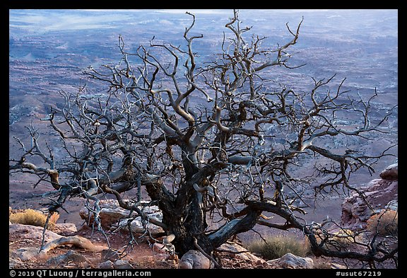 Dead juniper on canyon rim, Needles Overlook. Bears Ears National Monument, Utah, USA (color)