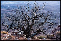 Dead juniper on canyon rim, Needles Overlook. Bears Ears National Monument, Utah, USA ( color)