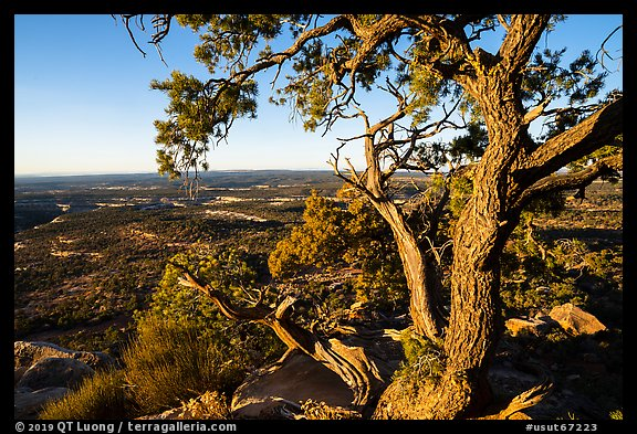 Juniper tree and Cedar Mesa from Salvation Knoll. Bears Ears National Monument, Utah, USA (color)