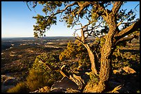Juniper tree and Cedar Mesa from Salvation Knoll. Bears Ears National Monument, Utah, USA ( color)