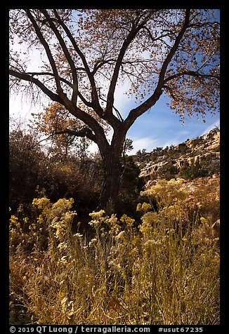 Blooms and cottonwood in late fall, Road Canyon. Bears Ears National Monument, Utah, USA (color)