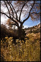 Blooms and cottonwood in late fall, Road Canyon. Bears Ears National Monument, Utah, USA ( color)