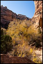 Tree with autumn foliage and cliffs, Bullet Canyon. Bears Ears National Monument, Utah, USA ( )