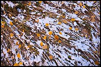 Close up of grasses flattened by flash flood, snow, and fallen leaves. Bears Ears National Monument, Utah, USA ( )
