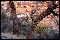 Cottonwood trunks and cliffs, Bullet Canyon. Bears Ears National Monument, Utah, USA ( )