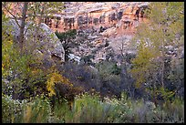 Blooms, autumn colors, and cliffs, Bullet Canyon. Bears Ears National Monument, Utah, USA ( )
