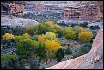 Cottonwoods in autumn color in Bullet Canyon. Bears Ears National Monument, Utah, USA ( )