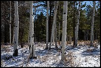Aspen and snow, Elk Ridge. Bears Ears National Monument, Utah, USA ( )