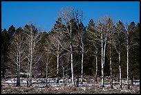 Bare aspen and pine trees, Elk Ridge. Bears Ears National Monument, Utah, USA ( )