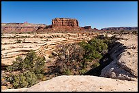 Trees in canyon and butte, Soldiers Crossing. Bears Ears National Monument, Utah, USA ( )