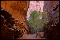 Sheer side canyon with trees, Long Canyon. Grand Staircase Escalante National Monument, Utah, USA ( )