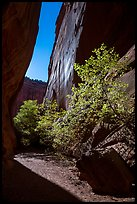 Side canyon of Long Canyon sunlit with trees. Grand Staircase Escalante National Monument, Utah, USA ( )