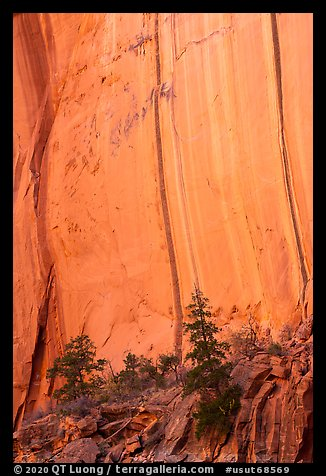 Trees and cliff with desert varnish in Kayenta Sandstone, Long Canyon. Grand Staircase Escalante National Monument, Utah, USA (color)
