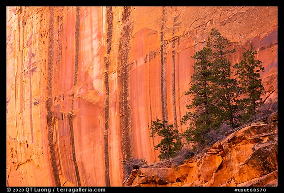 Desert varnish striations and pine trees, Long Canyon. Grand Staircase Escalante National Monument, Utah, USA (color)
