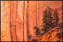 Desert varnish striations and pine trees, Long Canyon. Grand Staircase Escalante National Monument, Utah, USA ( )