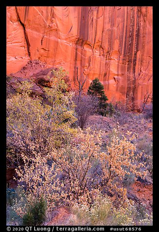 Trees in fall foliage and cliffs with desert varnish, Long Canyon. Grand Staircase Escalante National Monument, Utah, USA (color)