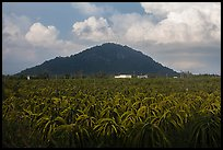 Dragon fruit field and hill south of Phan Thiet. Vietnam ( color)