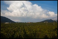 Thanh long fruit (pitaya) field and moonson clouds. Vietnam ( color)