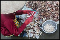 Woman extracting meat from scallops. Mui Ne, Vietnam ( color)