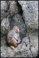 Monkey on cliff. Halong Bay, Vietnam (color)