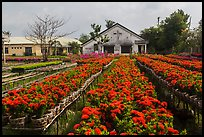 Rows of potted red flowers. Sa Dec, Vietnam ( color)