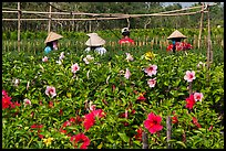 Flowers and workers in flower field. Sa Dec, Vietnam ( color)