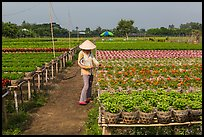 Woman caring for flowers in nursery. Sa Dec, Vietnam ( color)
