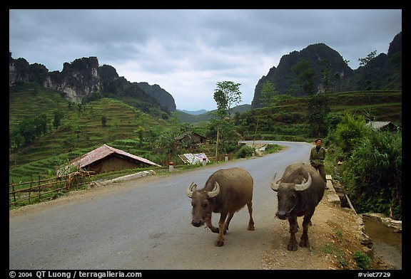 Man walking down two water buffaloes down the road, Ma Phuoc Pass area. Northeast Vietnam