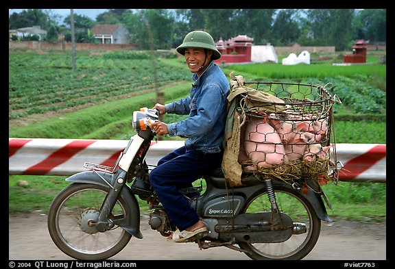 Motorcyclist carrying live pigs. Vietnam