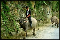 Hmong man riding a water buffalo near Yen Chay. Northwest Vietnam