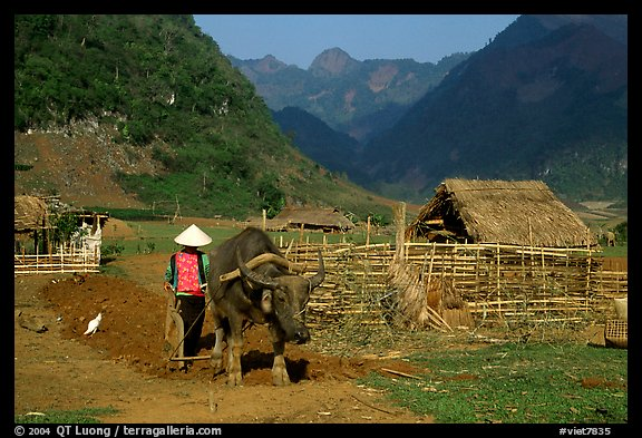 Plowing the fields with a water buffalo close to a hut, near Tuan Giao. Northwest Vietnam