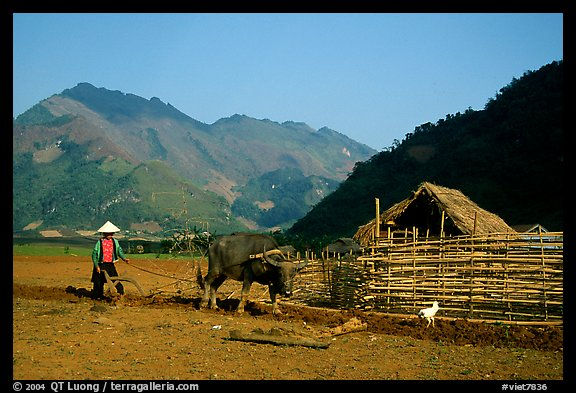 Plowing a field with a water buffalo close to a hut, near Tuan Giao. Northwest Vietnam