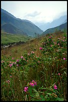 Wildflowers and mountains in the Tram Ton Pass area. Northwest Vietnam